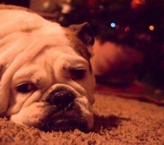 My english bulldog Basil lying in front of the christmas tree