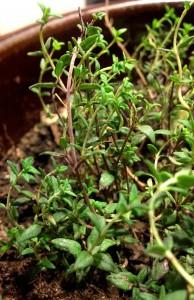 Thyme growing indoors