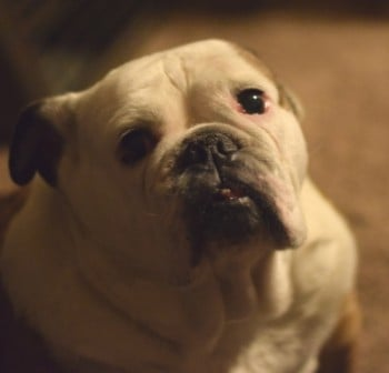 Fox Valley Foodie's Dog Basil