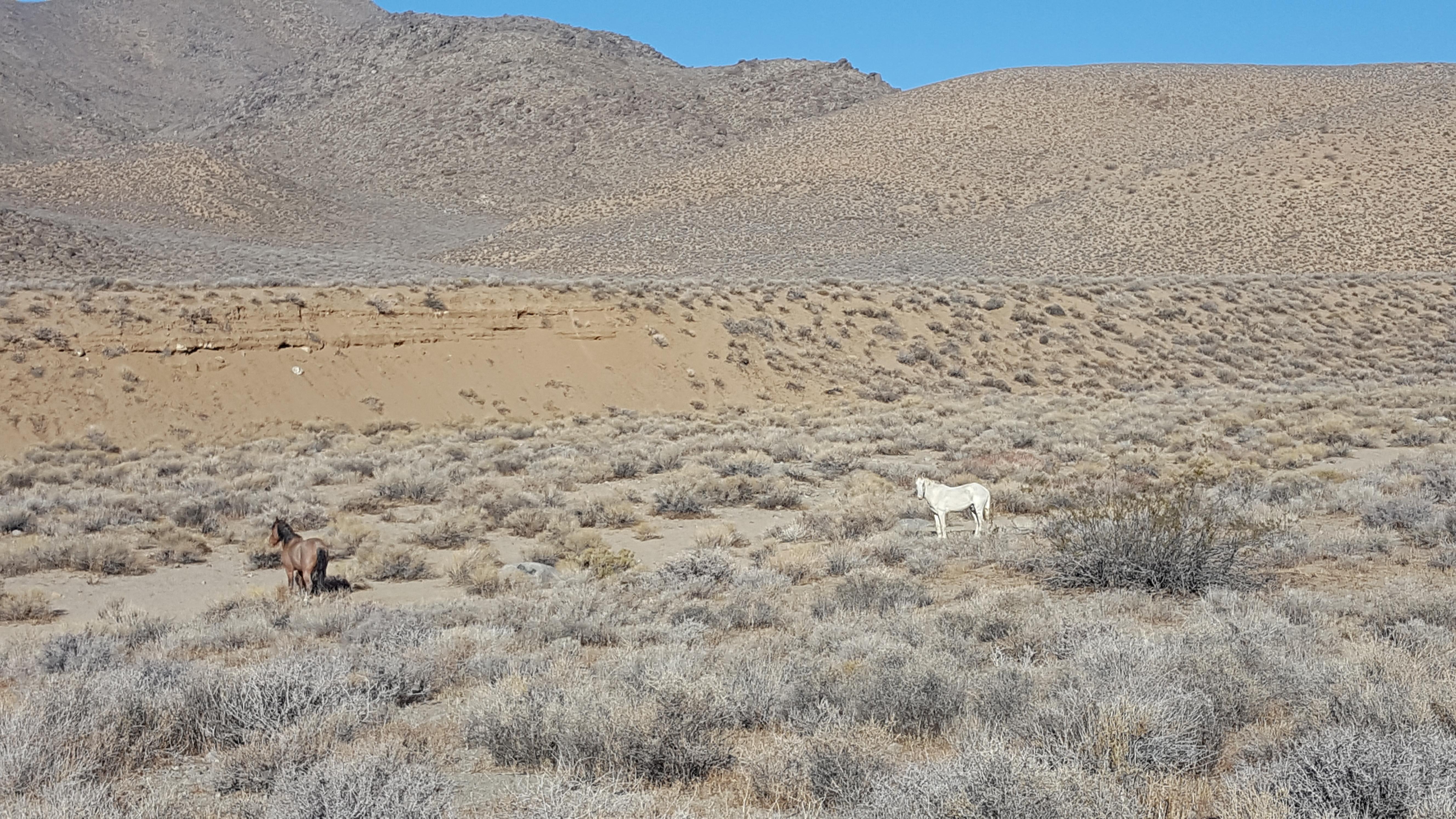 Death Valley Wild Horses